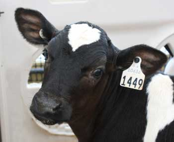 Optimizing your calf feeding program