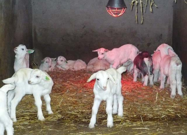 kid goats under heat lamp