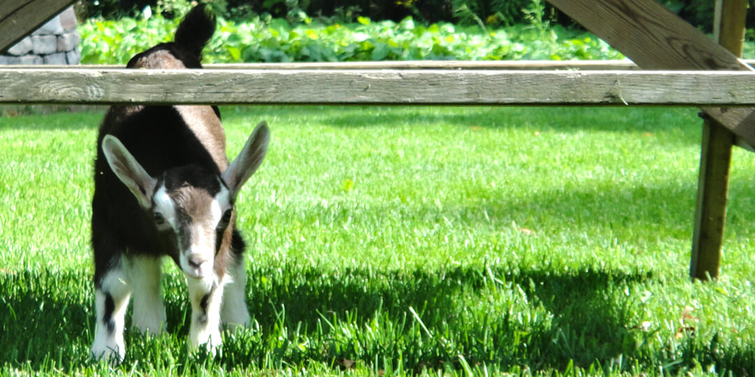 Kid goat peaking out from under picnic table in green grass