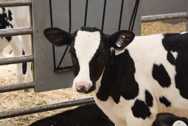 Feeding calves according to the season