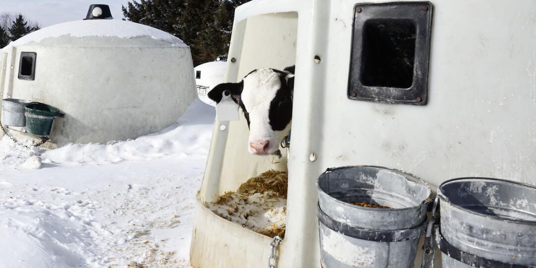 Calf in hutch in winter time
