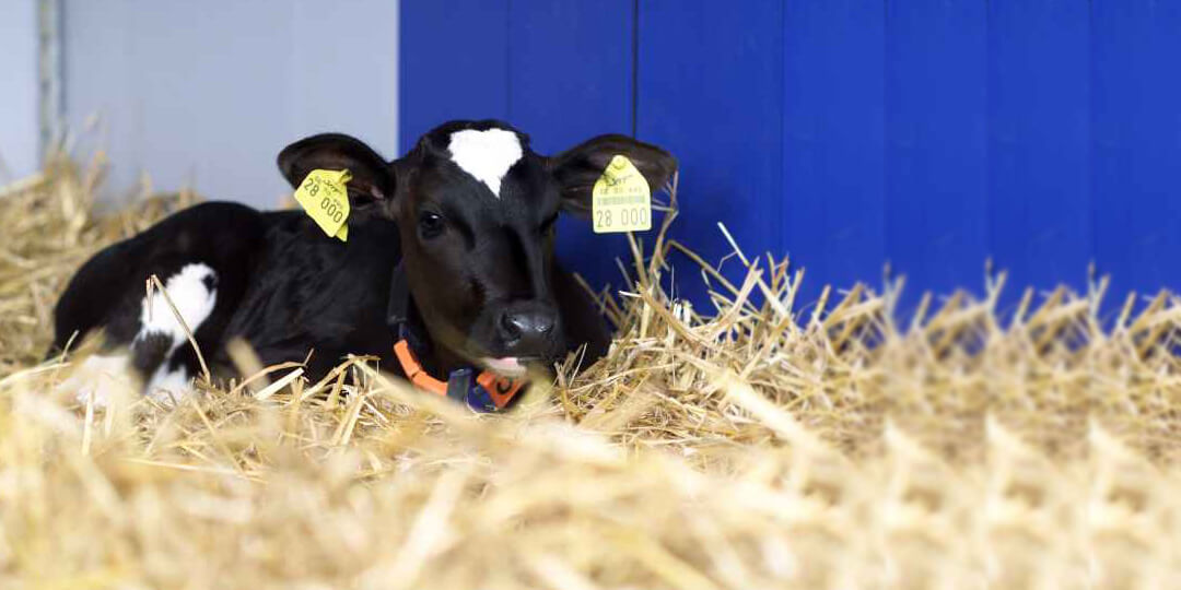Calf laying in well bedded straw pen