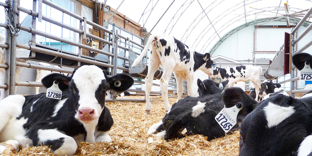 Dairy Holstein calves in group housing