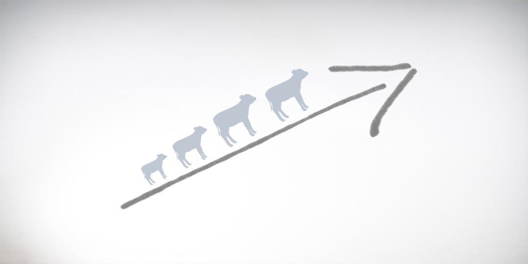 Calf growth icon