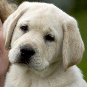 puppy  GRO