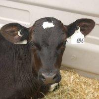 Dairy holstein heifer calf
