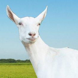 caprilait goat