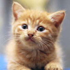 kitten GRO