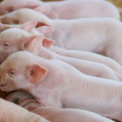 Piglets nursing from sow