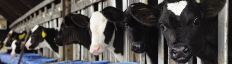 Calves in pens drinking from pails
