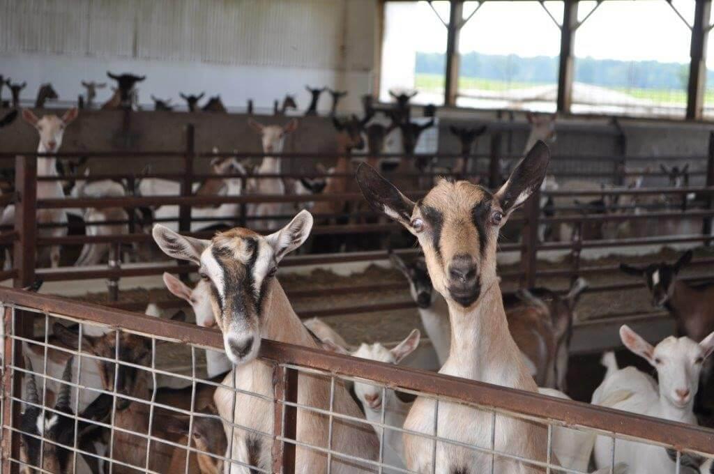 Anja & Henry van der Vlies - goats on the farm
