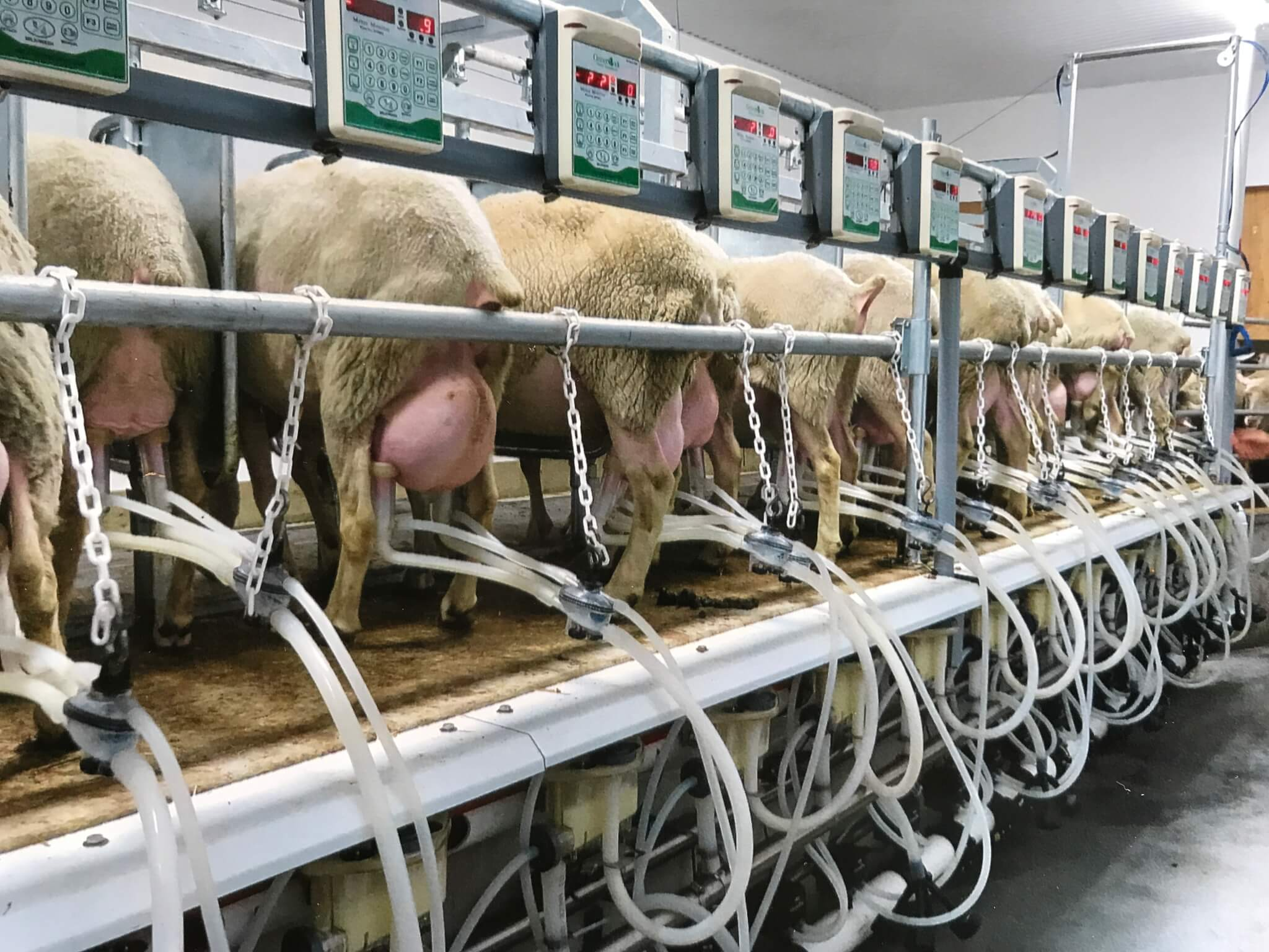 Milking sheep in parlor