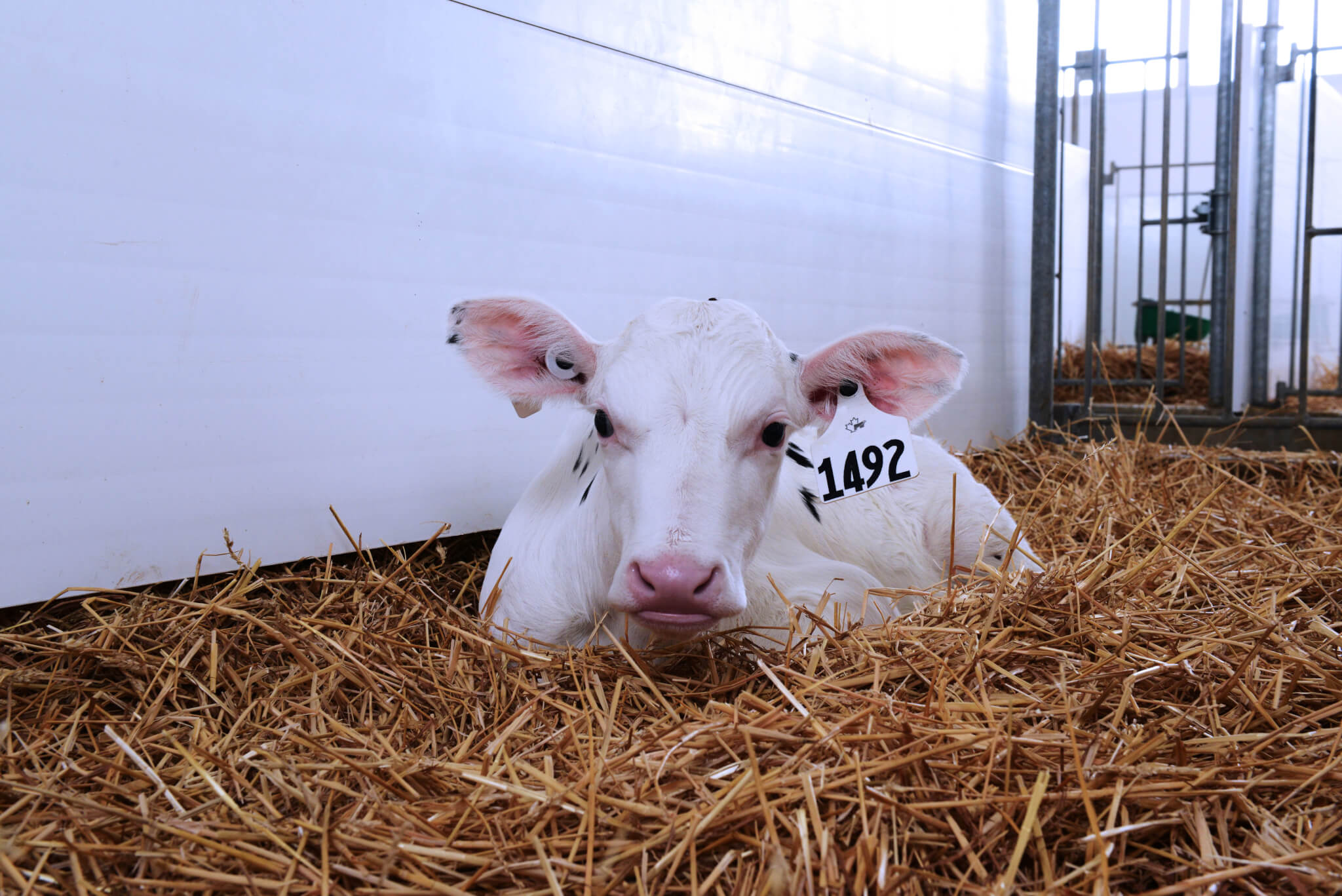 Achieve 24/22 milk replacer, calf lying in pen of straw