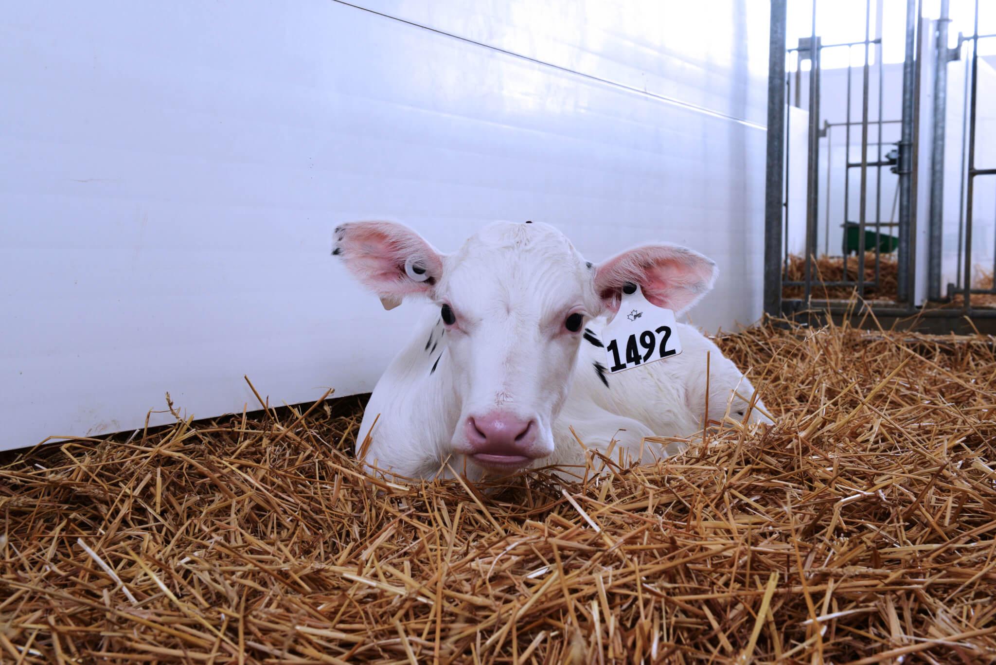 Achieve 24/22 milk replacer, calf lying in pen of straw
