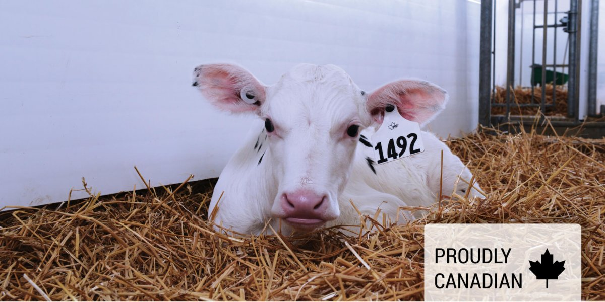 Achieve Calf lying in pen of straw with proudly Canadian maple leaf