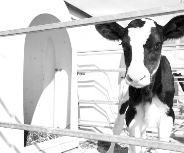 Achieve milk replacer - black and white picture of holstein calf in hutch