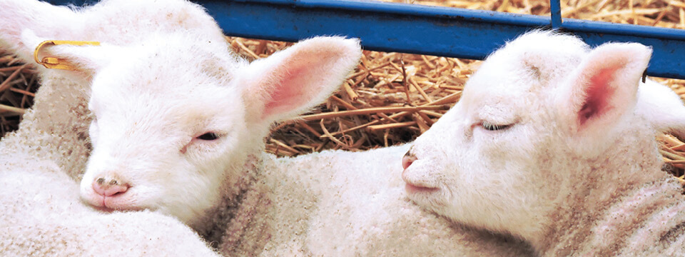 Lamb milk replacer from Grober nutrition