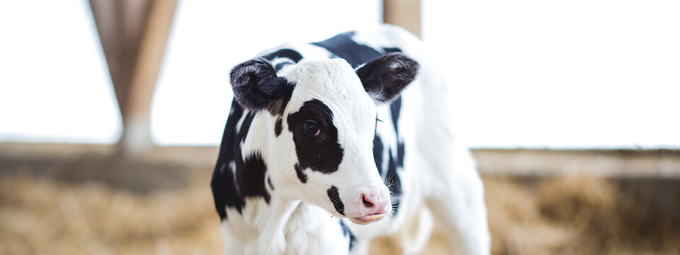 Grober Nutrition calf milk replacer and nutrition - Your young animal specialists