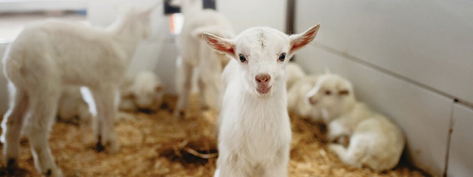 Grober Nutrition kid goat nutrition - Your young animal specialists