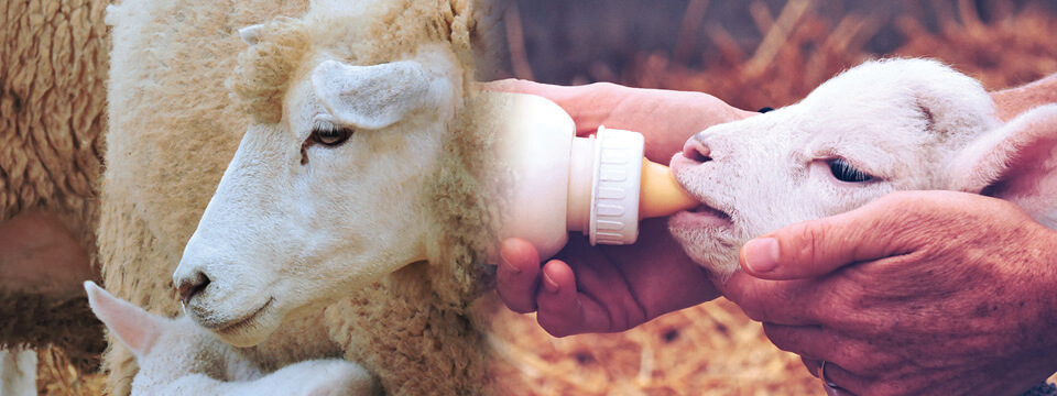 Grober Nutrition milk replacer and lamb nutrition - Your young animal specialists