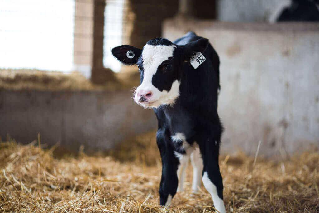 Calf milk replacer Alpha veal