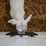 KidGro colostrum, baby kid goat drinking milk