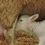 LambGro colostrum, baby lamb nursing from mother